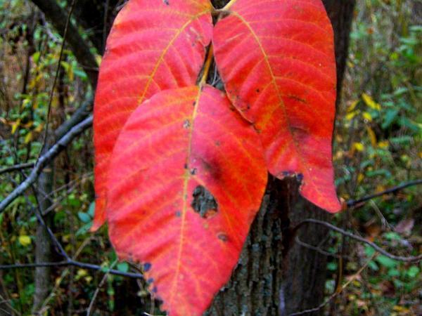 Poison Oak (Toxicodendron) http://www.sagebud.com/poison-oak-toxicodendron