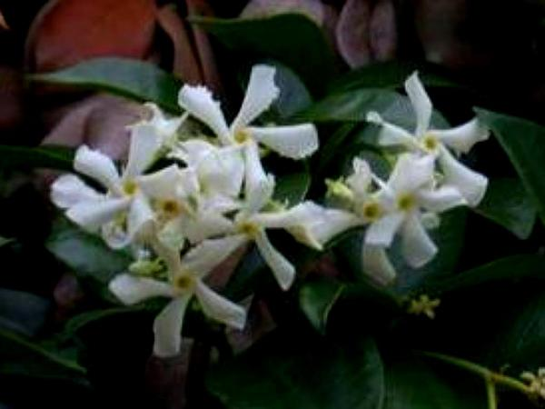 Trachelospermum (Trachelospermum) http://www.sagebud.com/trachelospermum-trachelospermum/