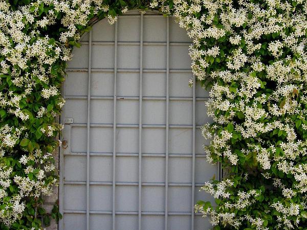 Trachelospermum (Trachelospermum) http://www.sagebud.com/trachelospermum-trachelospermum