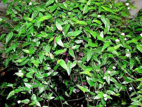 Spiderwort (Tradescantia) http://www.sagebud.com/spiderwort-tradescantia/