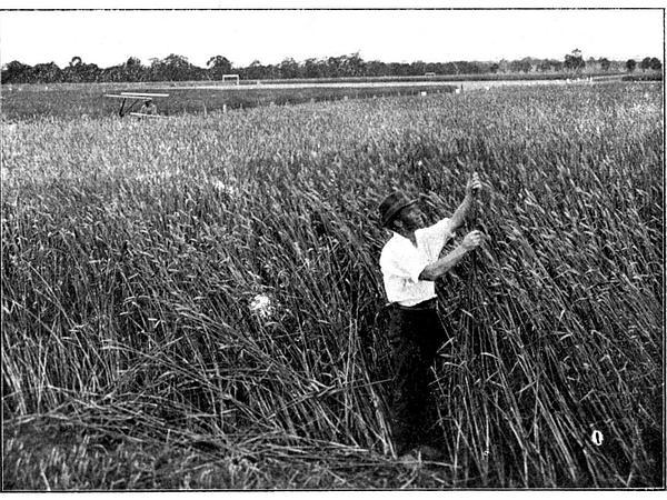 Common Wheat (Triticum Aestivum) http://www.sagebud.com/common-wheat-triticum-aestivum/