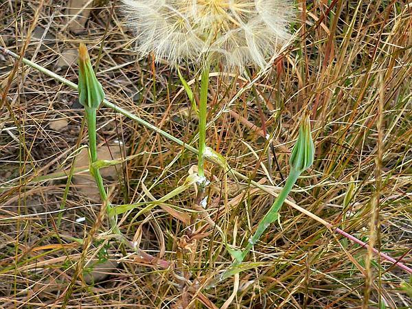 Goatsbeard (Tragopogon) http://www.sagebud.com/goatsbeard-tragopogon