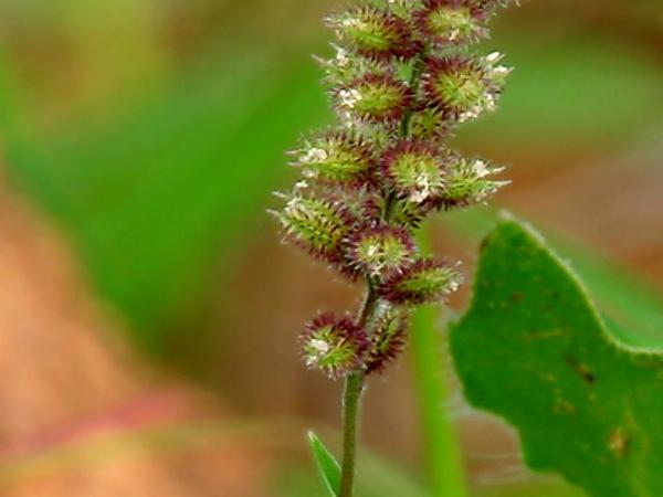 Bur Grass (Tragus) http://www.sagebud.com/bur-grass-tragus