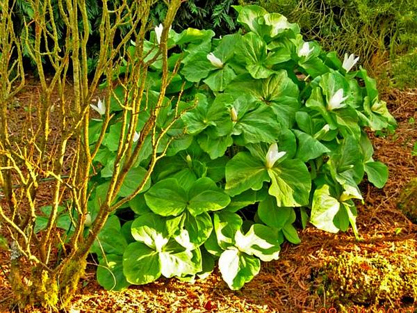 Giant White Wakerobin (Trillium Albidum) http://www.sagebud.com/giant-white-wakerobin-trillium-albidum