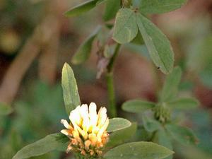 Egyptian Clover