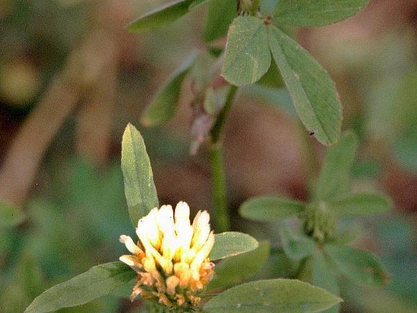 Egyptian Clover (Trifolium Alexandrinum) http://www.sagebud.com/egyptian-clover-trifolium-alexandrinum