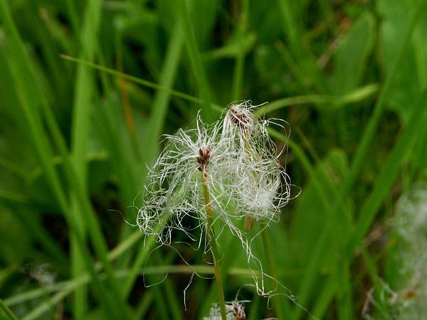 Alpine Bulrush (Trichophorum Alpinum) http://www.sagebud.com/alpine-bulrush-trichophorum-alpinum/