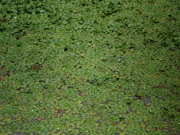 Water Chestnut (Trapa) http://www.sagebud.com/water-chestnut-trapa