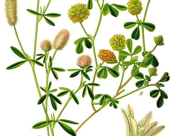 Rabbitfoot Clover (Trifolium Arvense) http://www.sagebud.com/rabbitfoot-clover-trifolium-arvense