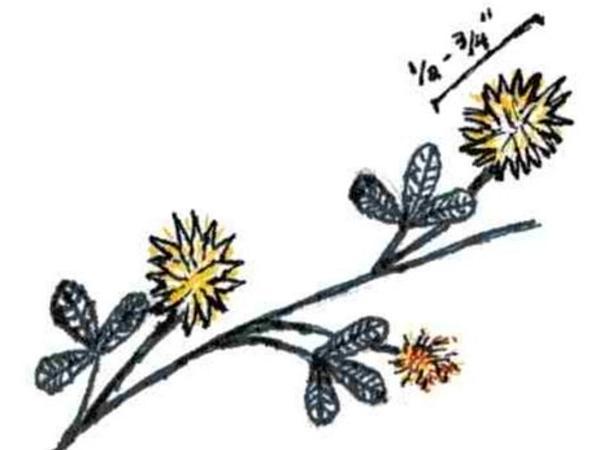 Golden Clover (Trifolium Aureum) http://www.sagebud.com/golden-clover-trifolium-aureum