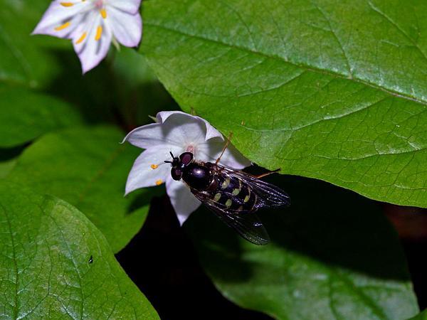Starflower (Trientalis Borealis) http://www.sagebud.com/starflower-trientalis-borealis/