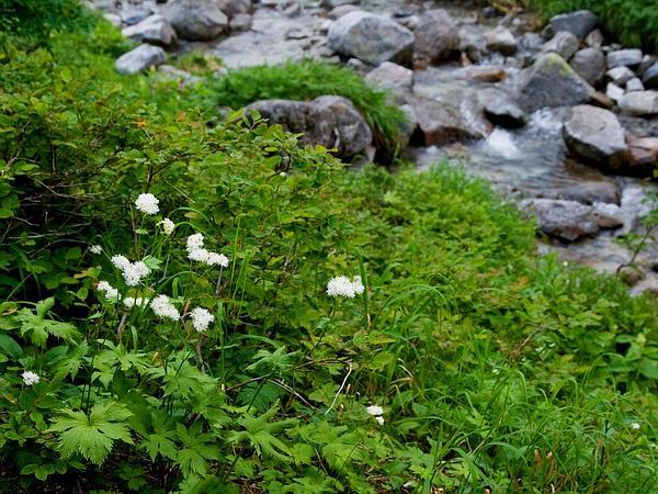 Carolina Bugbane (Trautvetteria Caroliniensis) http://www.sagebud.com/carolina-bugbane-trautvetteria-caroliniensis/