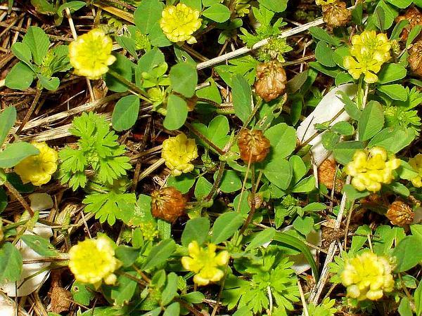 Field Clover (Trifolium Campestre) http://www.sagebud.com/field-clover-trifolium-campestre