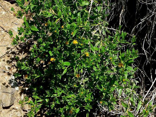 American Threefold (Trixis Californica) http://www.sagebud.com/american-threefold-trixis-californica/