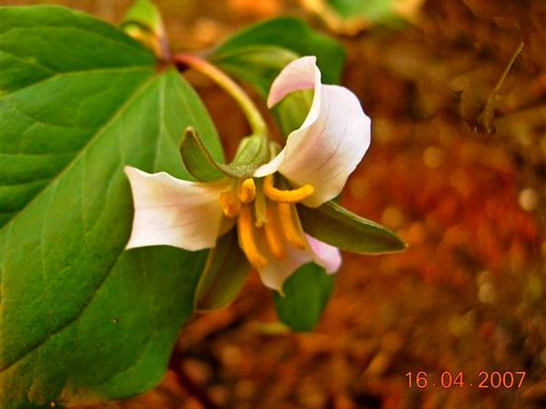 Whip-Poor-Will Flower (Trillium Cernuum) http://www.sagebud.com/whip-poor-will-flower-trillium-cernuum/