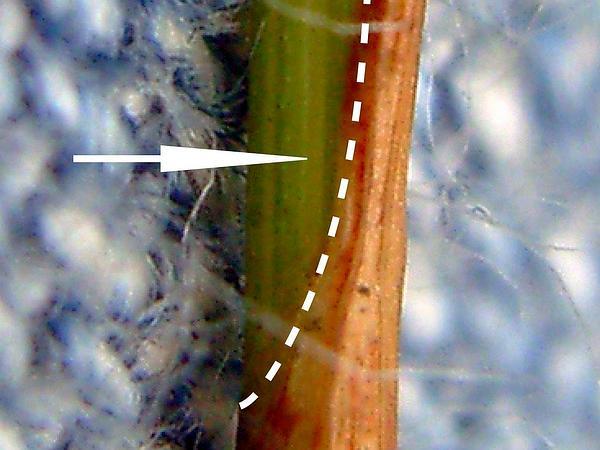 Tufted Bulrush (Trichophorum Cespitosum) http://www.sagebud.com/tufted-bulrush-trichophorum-cespitosum