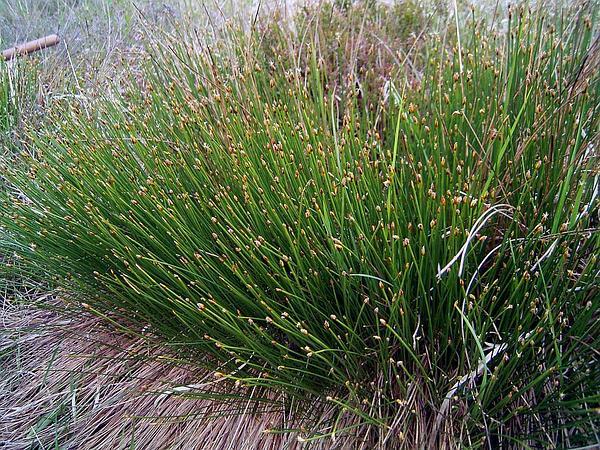 Tufted Bulrush (Trichophorum Cespitosum) http://www.sagebud.com/tufted-bulrush-trichophorum-cespitosum/