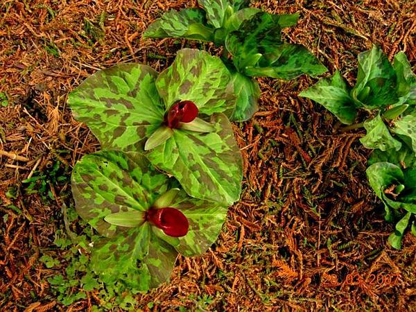 Giant Wakerobin (Trillium Chloropetalum) http://www.sagebud.com/giant-wakerobin-trillium-chloropetalum/