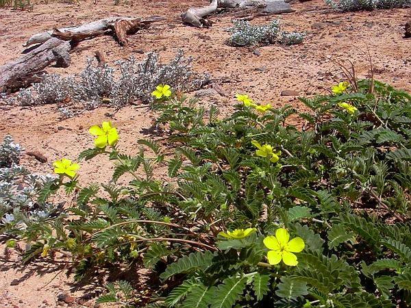 Jamaican Feverplant (Tribulus Cistoides) http://www.sagebud.com/jamaican-feverplant-tribulus-cistoides/