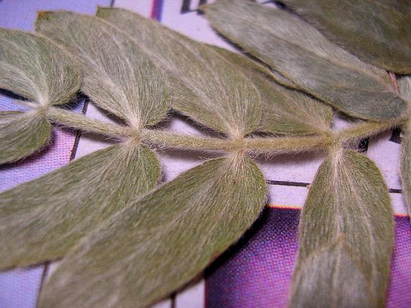 Jamaican Feverplant (Tribulus Cistoides) http://www.sagebud.com/jamaican-feverplant-tribulus-cistoides