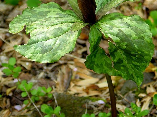 Little Sweet Betsy (Trillium Cuneatum) http://www.sagebud.com/little-sweet-betsy-trillium-cuneatum