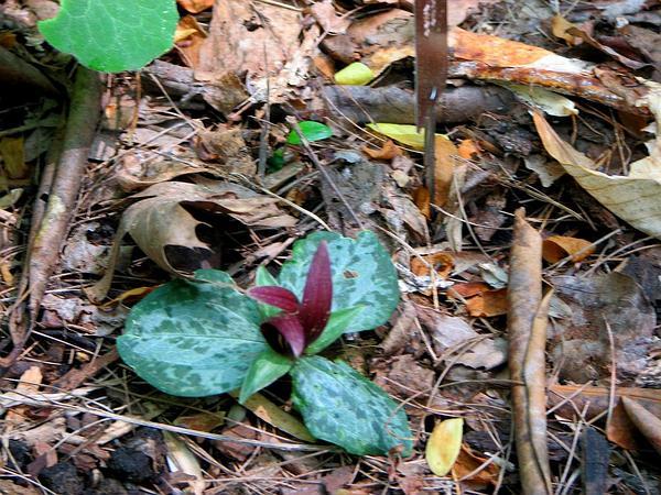 Trailing Wakerobin (Trillium Decumbens) http://www.sagebud.com/trailing-wakerobin-trillium-decumbens/