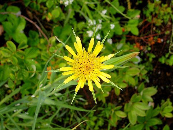 Yellow Salsify (Tragopogon Dubius) http://www.sagebud.com/yellow-salsify-tragopogon-dubius