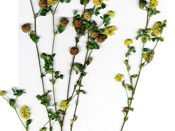 Suckling Clover (Trifolium Dubium) http://www.sagebud.com/suckling-clover-trifolium-dubium