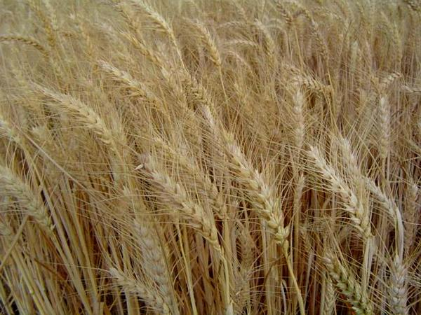 Durum Wheat (Triticum Durum) http://www.sagebud.com/durum-wheat-triticum-durum