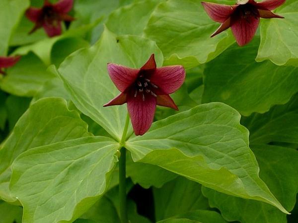Red Trillium (Trillium Erectum) http://www.sagebud.com/red-trillium-trillium-erectum
