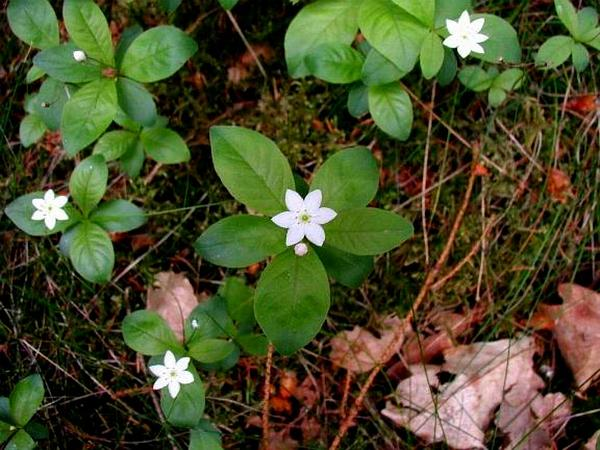 Arctic Starflower (Trientalis Europaea) http://www.sagebud.com/arctic-starflower-trientalis-europaea/