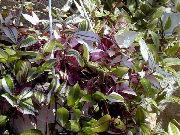 Small-Leaf Spiderwort (Tradescantia Fluminensis) http://www.sagebud.com/small-leaf-spiderwort-tradescantia-fluminensis