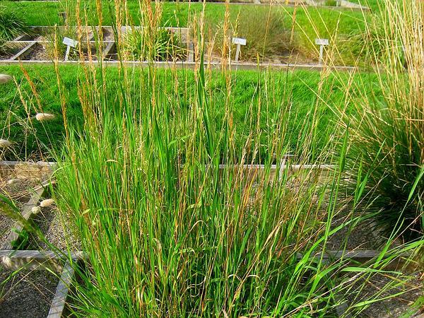 Yellow Oatgrass (Trisetum Flavescens) http://www.sagebud.com/yellow-oatgrass-trisetum-flavescens/