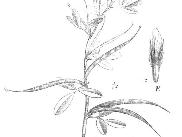 Sicklefruit Fenugreek (Trigonella Foenum-Graecum) http://www.sagebud.com/sicklefruit-fenugreek-trigonella-foenum-graecum