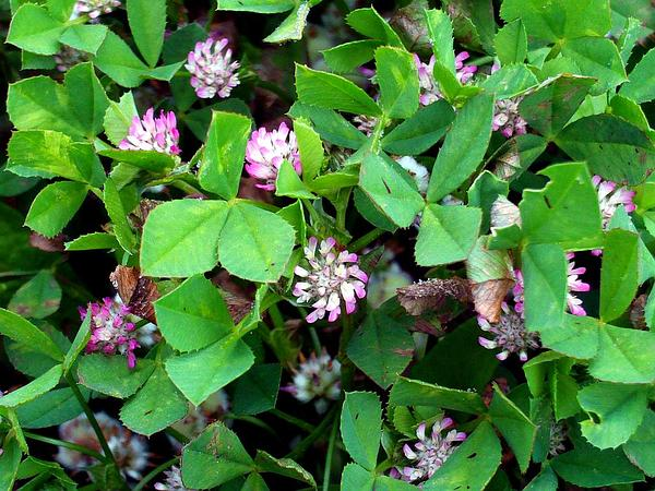 Strawberry Clover (Trifolium Fragiferum) http://www.sagebud.com/strawberry-clover-trifolium-fragiferum