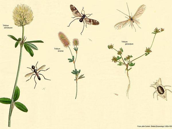 Clustered Clover (Trifolium Glomeratum) http://www.sagebud.com/clustered-clover-trifolium-glomeratum