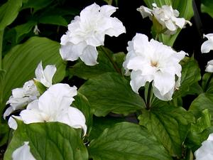 TRGR4/Double_Trillium_grandiflorum_300.jpg