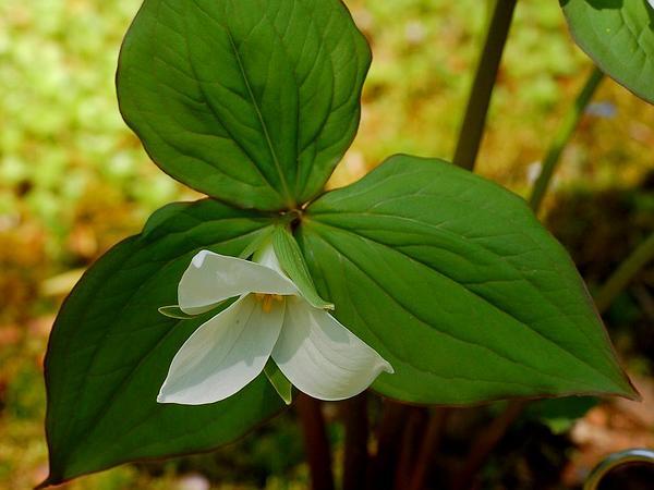White Trillium (Trillium Grandiflorum) http://www.sagebud.com/white-trillium-trillium-grandiflorum