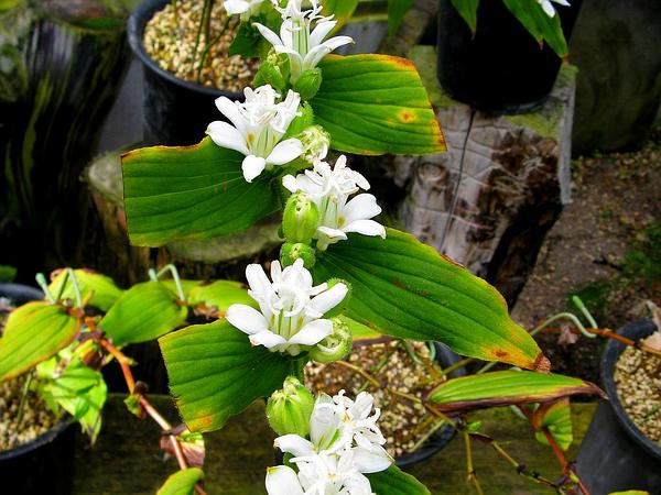 Toadlily (Tricyrtis Hirta) http://www.sagebud.com/toadlily-tricyrtis-hirta