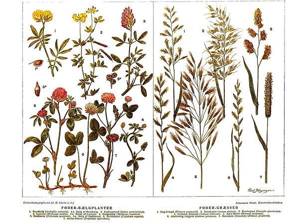 Alsike Clover (Trifolium Hybridum) http://www.sagebud.com/alsike-clover-trifolium-hybridum/