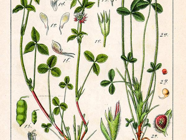 Alsike Clover (Trifolium Hybridum) http://www.sagebud.com/alsike-clover-trifolium-hybridum