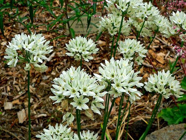 White Brodiaea (Triteleia Hyacinthina) http://www.sagebud.com/white-brodiaea-triteleia-hyacinthina/