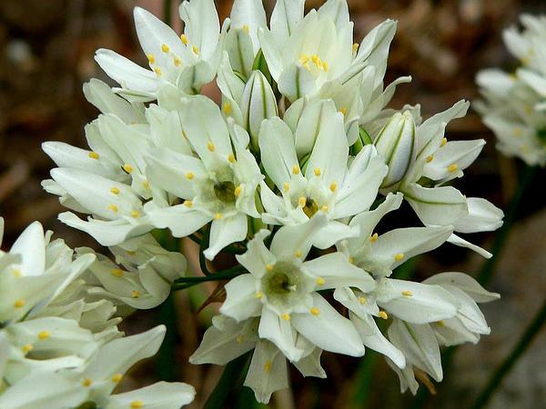 White Brodiaea (Triteleia Hyacinthina) http://www.sagebud.com/white-brodiaea-triteleia-hyacinthina