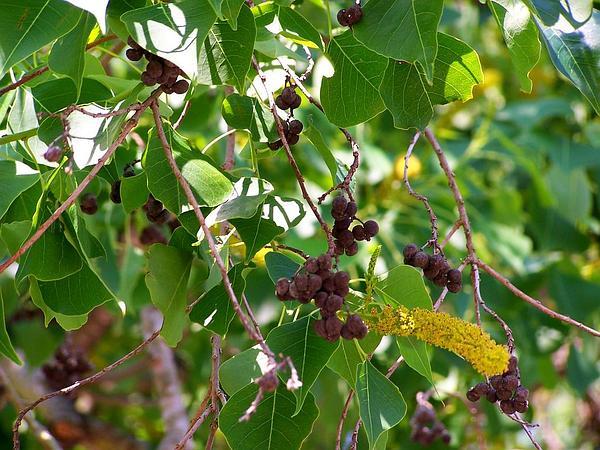 Chinese Tallow (Triadica) http://www.sagebud.com/chinese-tallow-triadica