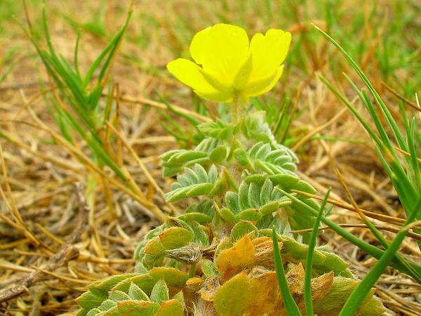 Puncturevine (Tribulus) http://www.sagebud.com/puncturevine-tribulus/