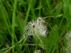 TRICH22/Eriophorum_gracile_300.jpg