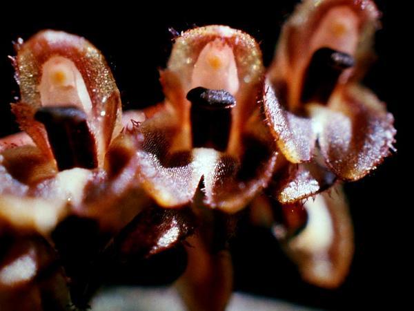 Bonnet Orchid (Trichosalpinx) http://www.sagebud.com/bonnet-orchid-trichosalpinx/