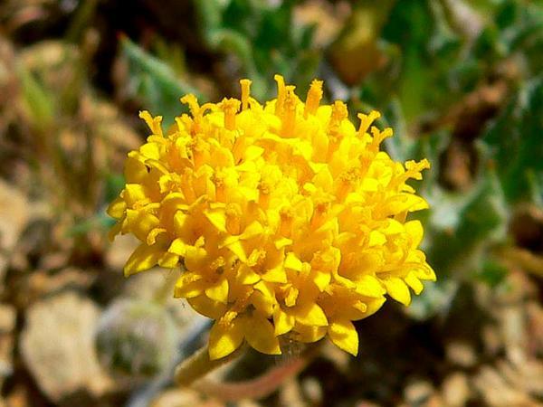 Trichoptilium (Trichoptilium) http://www.sagebud.com/trichoptilium-trichoptilium