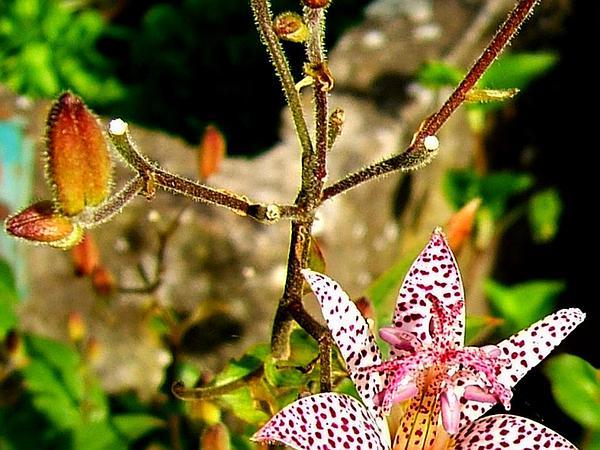 Tricyrtis (Tricyrtis) http://www.sagebud.com/tricyrtis-tricyrtis/