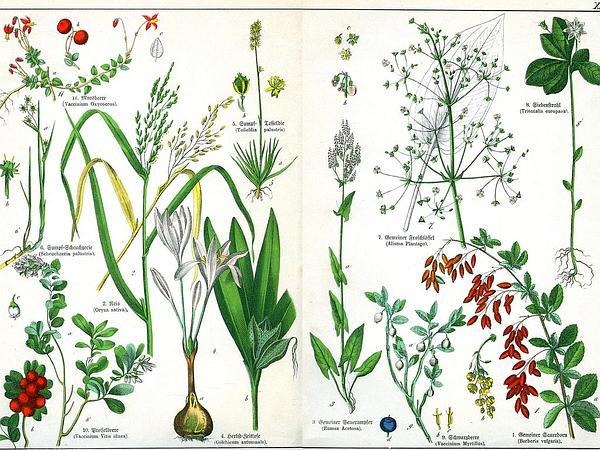 Starflower (Trientalis) http://www.sagebud.com/starflower-trientalis